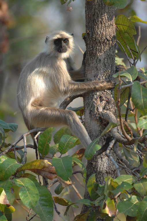 langur-in-tree-2