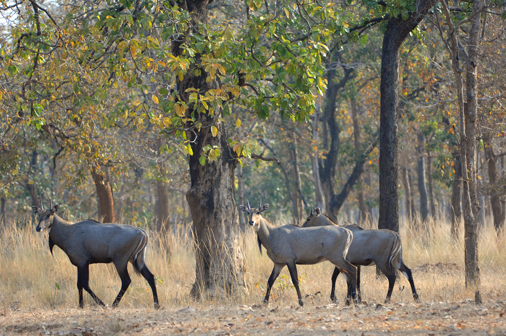nilgai-in-forest-1
