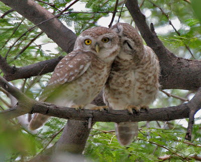 spotted_owlet_in_nepal