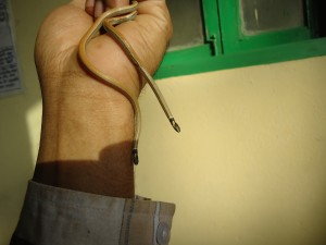 Both injured & new Bumeril's Black Headed snake in Mavish's hand