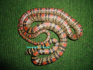 Chrysopelea ornata (Flying/ Gliding Snake)