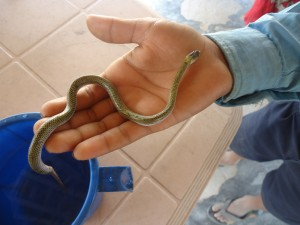 Twin-Spotted Wolf Snake on the hand of a school student_The snake was rescued in Dhanushadham Municipality
