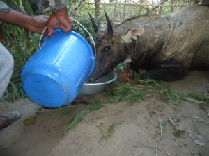 Providing water to injured Nilghai