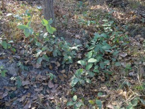 Natural Germination of Sal in Dhanushadham Protected Forest
