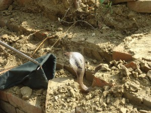 Rescuing the Common Cobra Snake in Mithileshwar Mauwahi by Dev Narayan Mandal, Chairman, MWT