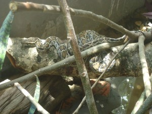 Burmese Python inside snake enclosure of DPF
