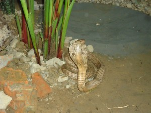 Cobra in a position in the snake enclosure of DPF
