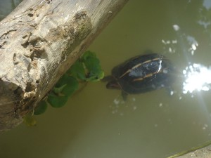 Three-keeled Land Turtle inside Mini Zoo managed by Mithila Wildlife Trust, Nepal (1)