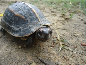 Three-keeled Land Turtle inside Mini Zoo managed by Mithila Wildlife Trust, Nepal (2)