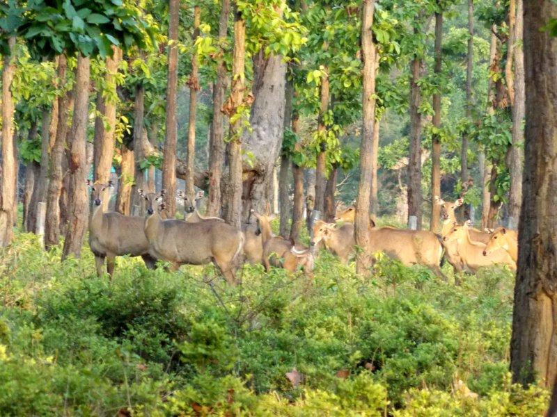 Nilghia groups staring to our survey team at Dhanushadham Protected Forest.
