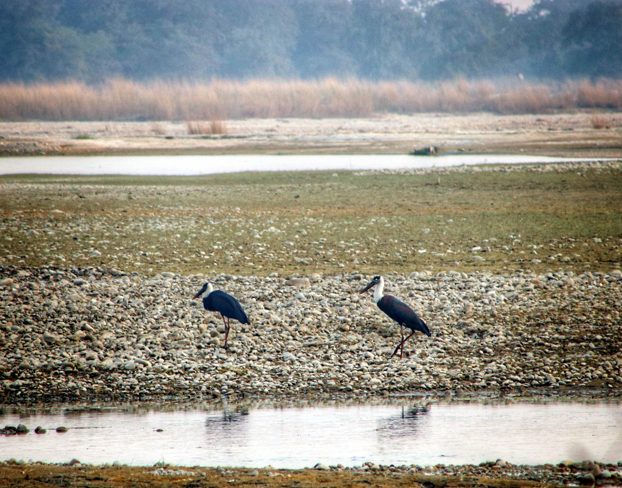Wooly Necked Stork Sighted during WWC 2021