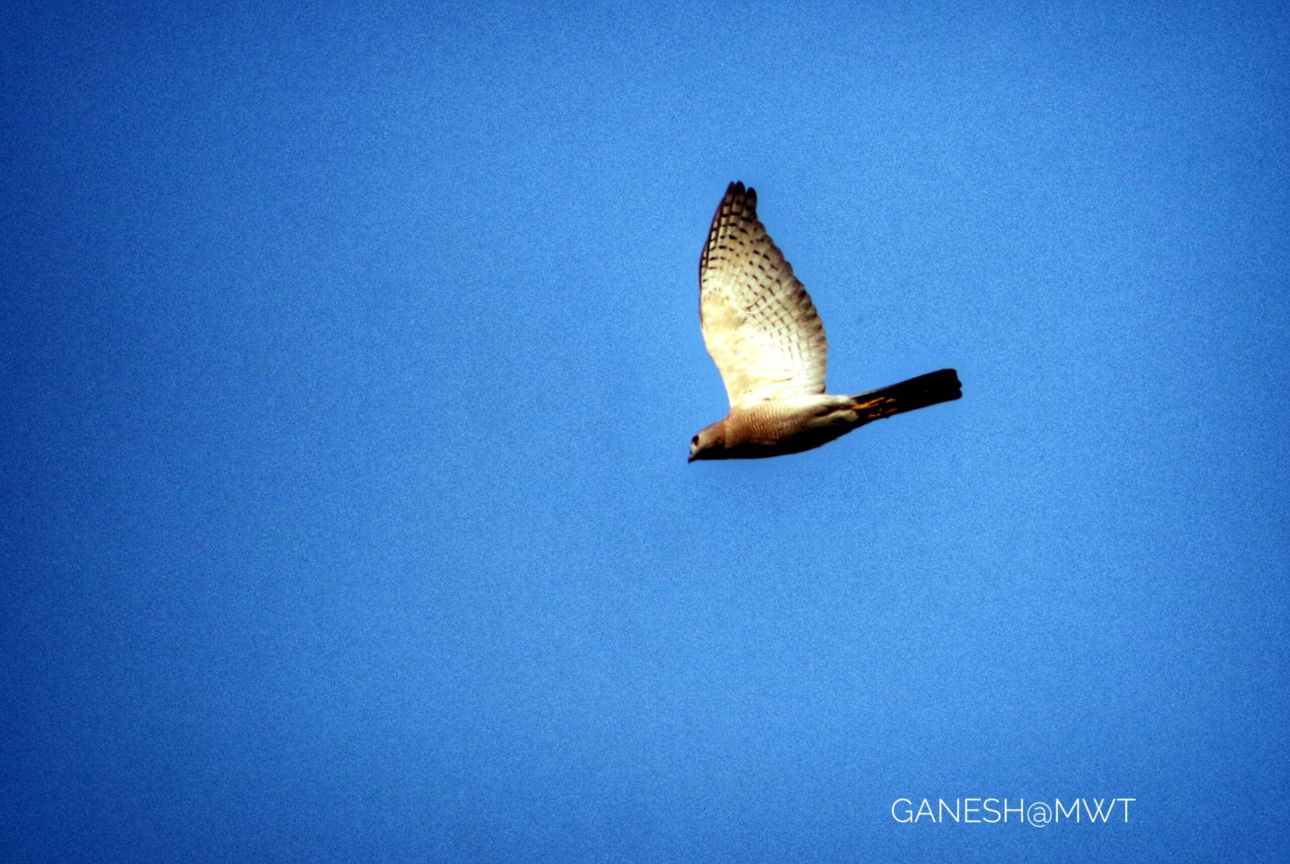 Shikra sighted during bird watching in Janakpur
