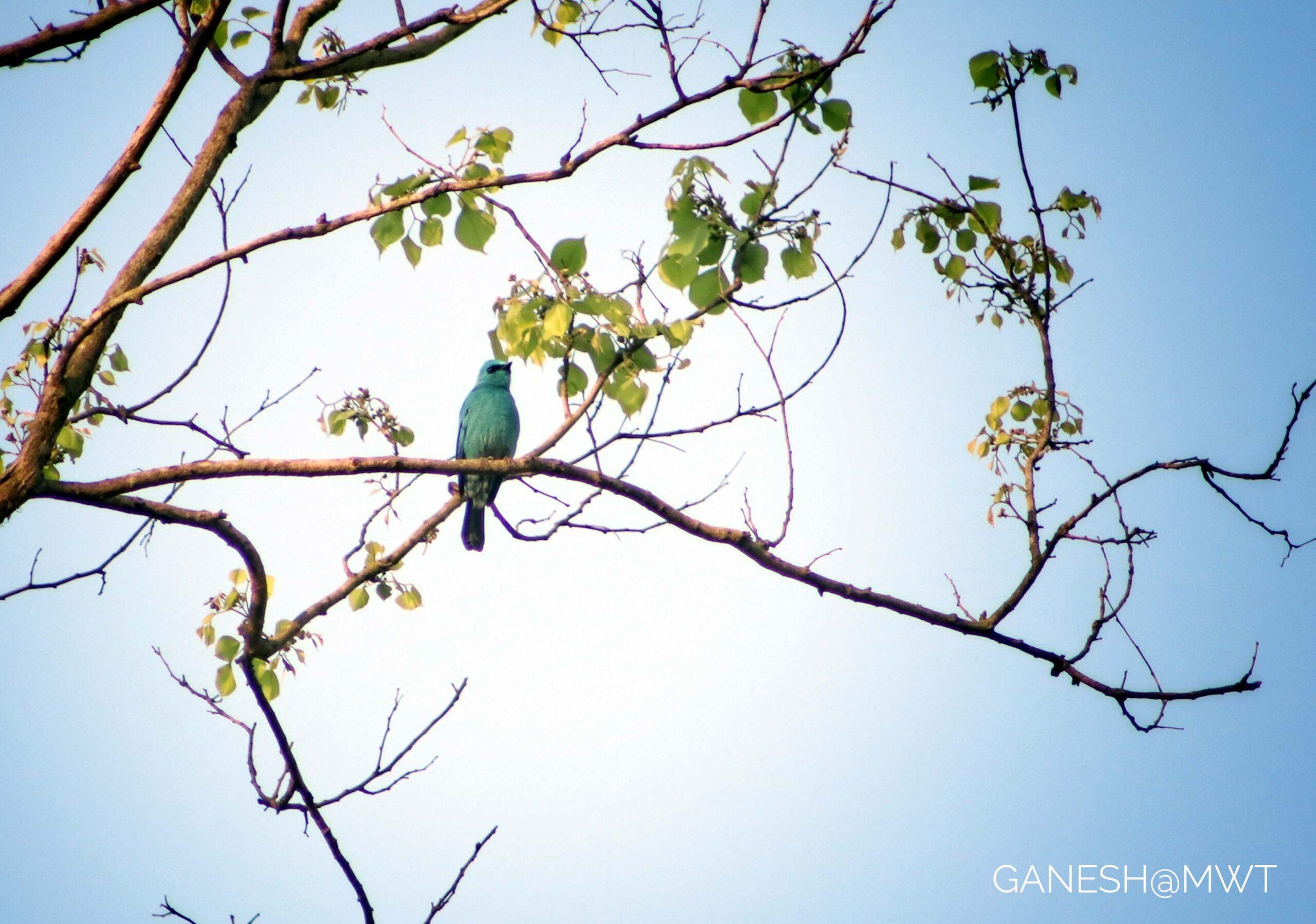 Verditer Flycatcher during bird watching in Janakpur